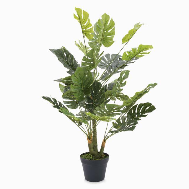Planta monstera