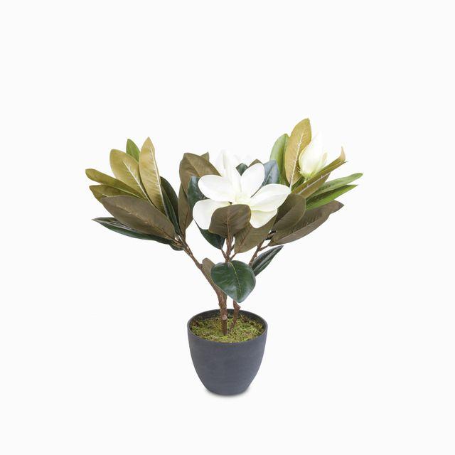 Lirio magnolia en maceta 45 cm