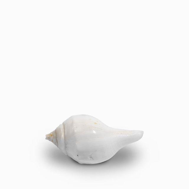 Pomo concha blanca