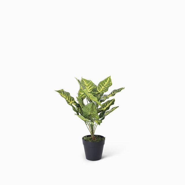 Planta philo