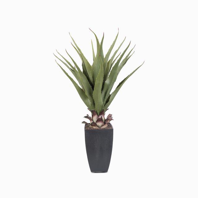 Aloe-75-cm