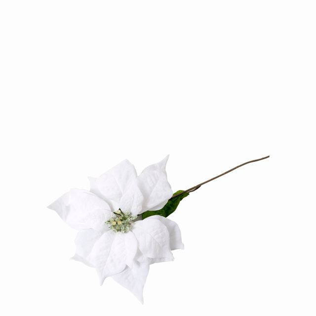 Poinsettia blanca