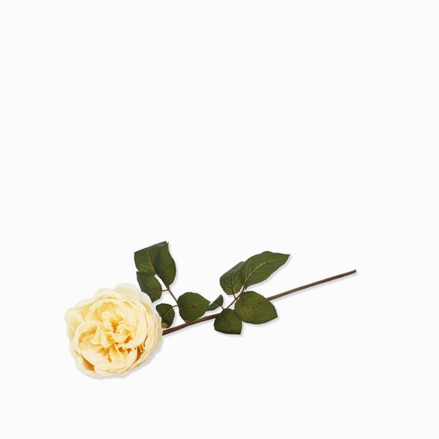 Rosa-peonia-crema-60cm